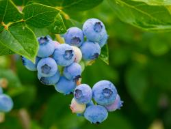 The Blueberry Patch